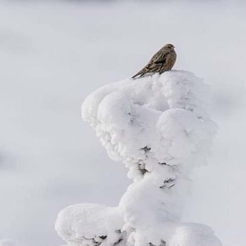 Accenteur alpin © Gaël Karczewski PNC