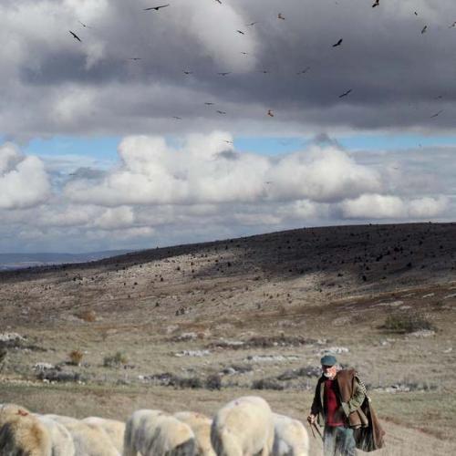Berger et son troupeau sur le causse Méjean © Damourette - Coeur de nature - SIPA et Régis Descamps PNC