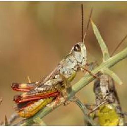 Le Criquet des ajoncs (Chorthippus binotatus binotatus) © Bruno Descaves PNC