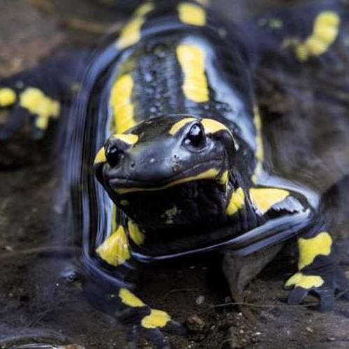 Salamandre tachetée © Gaël Karczewski PNC