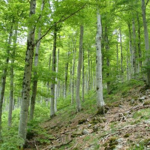 Forêt ancienne de l'Aigoual. Crédit : Mathieu Baconnet - PNC