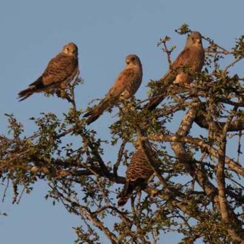 Faucons crécerellettes sur le causse Méjean © Jean-Pierre Malafosse PNC