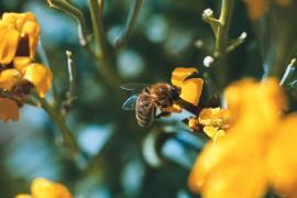 Abeille sur genêt en fleur © Parc national des Cévennes