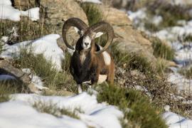 Mouflon sur l'Aigoual © Gaël Karczewski