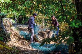 Récolte des châtaignes, Les Jardins du Pountanel © Olivier Prohin