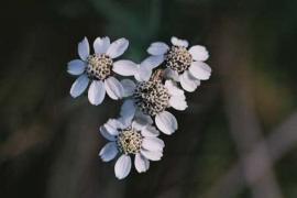 Achillée sternutatoire (Achillea ptarmica subsp pyrenaica) © Emeric Sulmont PNC