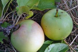 Pomme Djaleï © Jean-Marie Fabre
