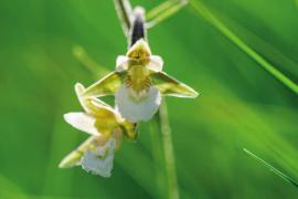 Epipactis des marais (Epipactis palustris) © Olivier Prohin PNC