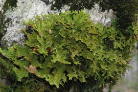 Lobaria pulmonaria, Bruno DESCAVES, PnC ©