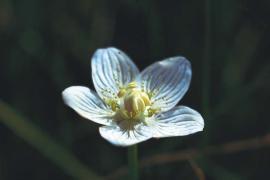 Parnassie des marais (Parnassia palustris) © Yves Maccagno