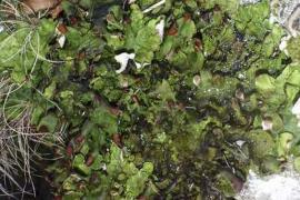 Peltigera aphtosa © Emeric Sulmont PNC