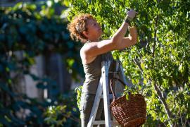 Récolte de fruits dans un verger © Régis Domergue