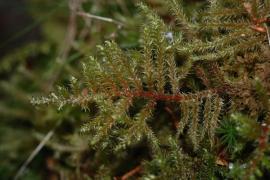 Rhytidiadelphus loreus © Emeric Sulmont PNC