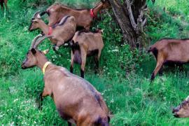 Chèvres Cévennes