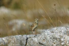 Pipit rousseline © Bruno Descaves
