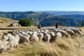 Troupeau de brebis sur l'Aigual, Arnaud BOUISSOU / Terra ministère de l'environnement ©