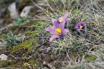 anemone_pulsatilla_vulgaris_c_regis_descamps_pnc.jpg