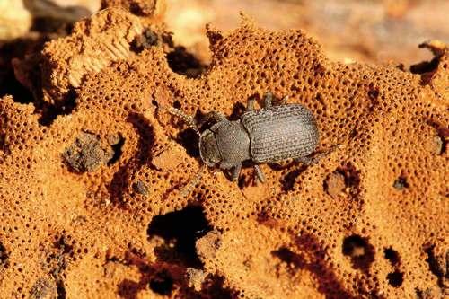 bolitophagus_reticulatus_sur_amadouvier_fomes_fomentarius_c_bruno_descaves_pnc.jpg
